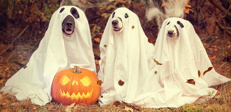 funny dogs Halloween outfit with pumpkin